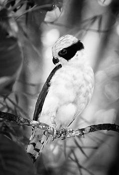 Laughing Falcon Costa Rica BW by Joan Carroll