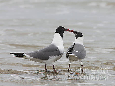 Laughing Gulls in Love by Charles McKelroy