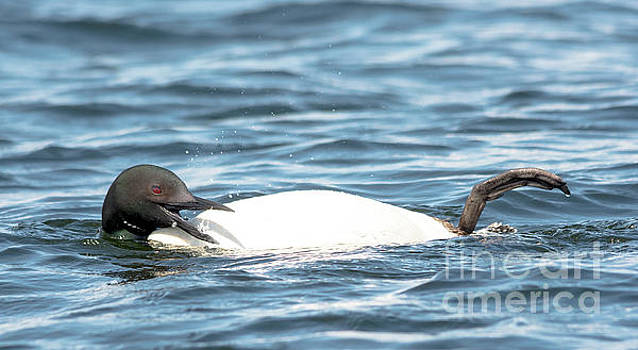 Laughing loon by Cheryl Baxter