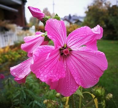 Lavatera flower by Tamara Sushko