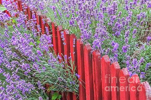 Lavender around a red wooden fence by Amanda Mohler