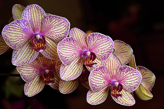 Reimar Gaertner - Lavender and cream Phalaenopsis Kaleidoscope Candy Stripe Moth o