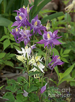 Lavender and White Columbine by Rex E Ater