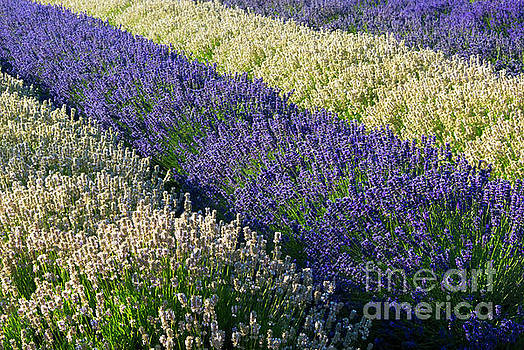 Lavender and White by Mike Dawson