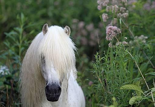 Lavender Blue- Welsh Pony by Susie Gordon