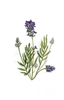 Lavender by Catalina Velasquez