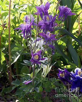 Lavender Columbine by Rex E Ater