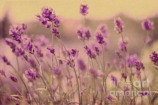 Lavender dreaming ... by Chris Armytage