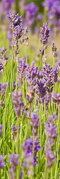 Lavender field by John Basford