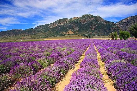Lavender Fields Forever by Gene Praag