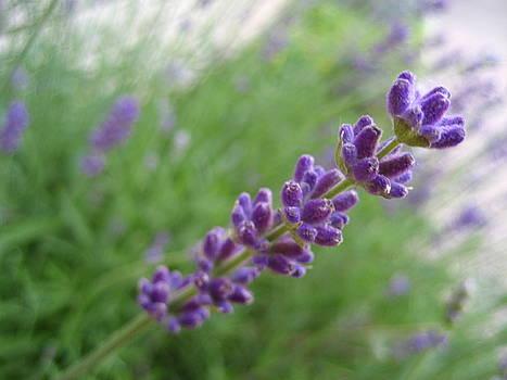 Lavender Fields Forever by Sheryl Burns