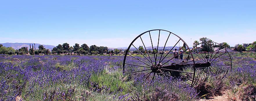 Lavender Fields by Jan Cipolla
