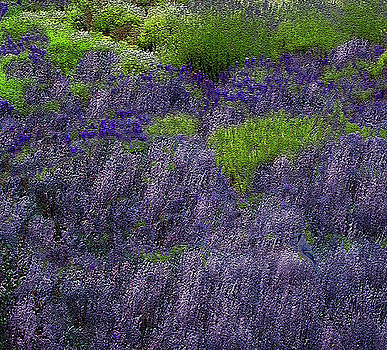 Lavender Fields by Michele Avanti