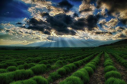 Lavender fields by Plamen Petkov