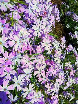 Lavender flowers by ONDRIA-UNIqU3-Pics- Admin