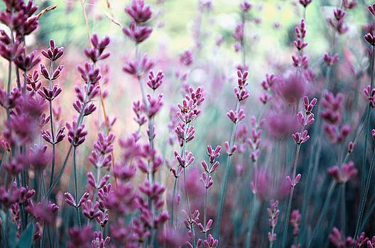 Lavender in varitone by Adrian Hancu