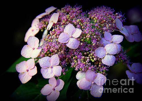Lavender Lace by Lisa L Silva