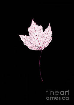Connie Fox - Lavender Leaf on Black
