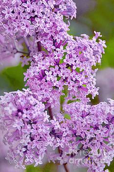 Regina Geoghan - Lavender Lilacs