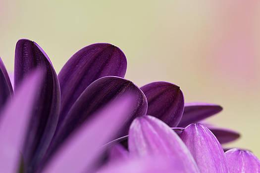 Sandra Foster - Lavender Osteospernum Petals