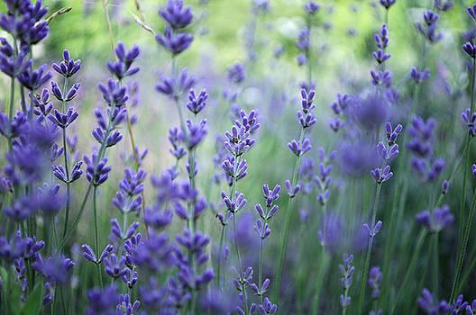 Lavender plant field by Adrian Hancu