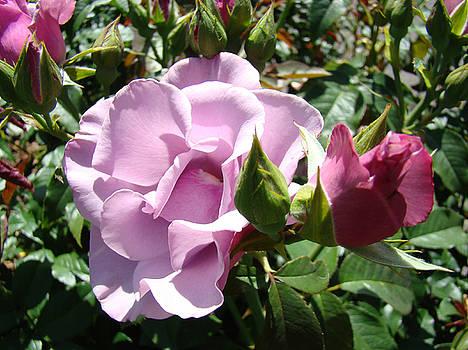 Baslee Troutman - Lavender Purple Roses Garden art prints Baslee Troutman