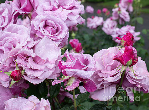 Lavender Roses with buds by Janice Paige Chow