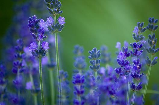 Lavender by Silke Magino