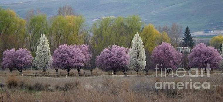 Lavender Spring by Ann Johndro-Collins