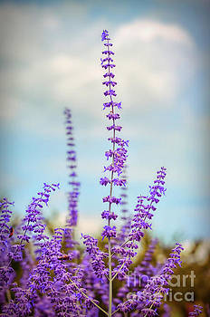 Lavender To The Sky by Kerri Farley
