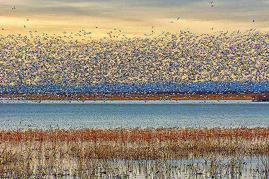 Nikolyn McDonald - Layers - Snow Geese