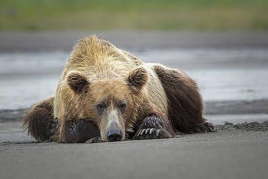 Lazy Bear by Renee Doyle