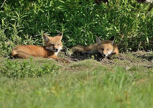 Lazy Sunday at The Den-Fox Kits by David Porteus