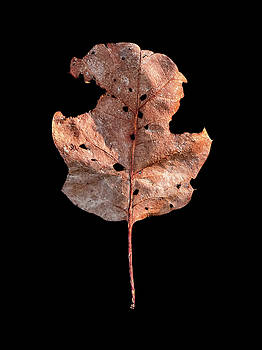 Leaf 24 by David J Bookbinder