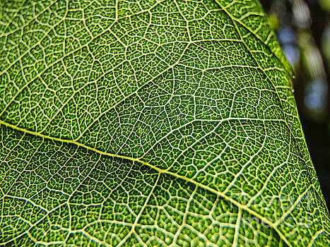 Leaf Detail by Trena Mara