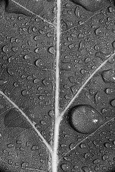 Leaf Dew Drop Number 8 BW by Steve Gadomski