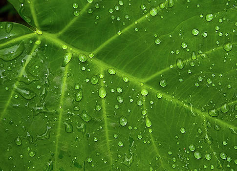 Leaf Drops by Art Shimamura