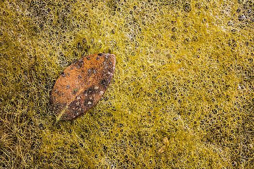 Leaf Fallen on Algae Bubbles by Steven Schwartzman