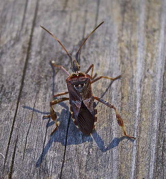 Leaf-footed Bug by Tracey Levine