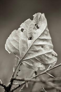 Leaf In Thorn by Hitendra SINKAR