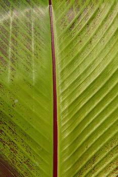 Leaf by Lyle Hatch