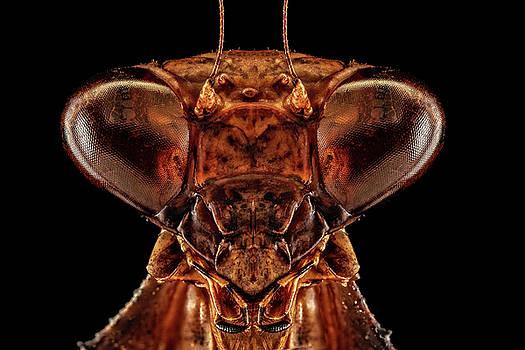 Leaf Mimic Mantis 3X by Gary Shepard