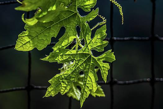 Leaf Textures - Bitter Gourd by Ramabhadran Thirupattur