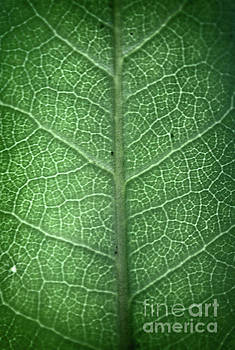 Leaf Vein by Paul Cammarata