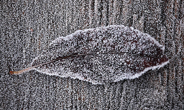 Leaf with frost by Jouko Mikkola