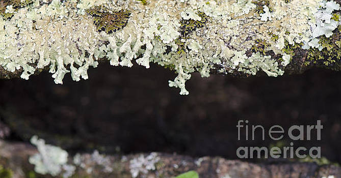 Leafy foliose lichen on a branch by Perry Van Munster