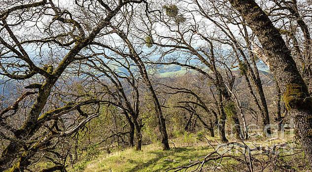 Steinbeck's Leaning Oaks by Jeffrey Hubbard