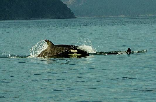 Leapfrog Orcas by Jay Warwick