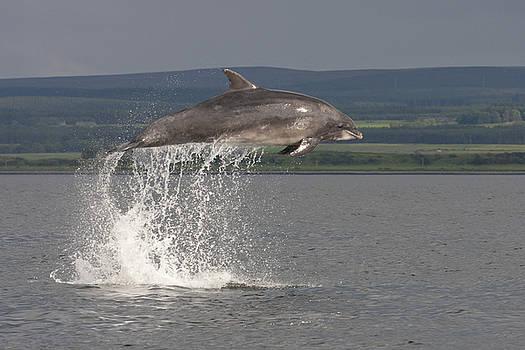 Leaping Bottlenose Dolphin  - Scotland #39 by Karen Van Der Zijden