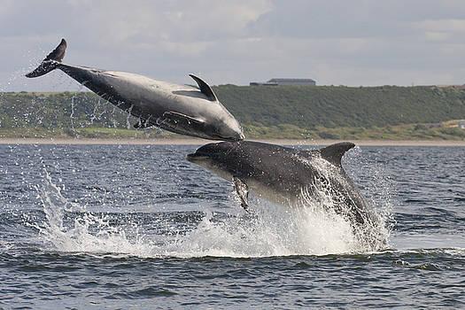 Leaping Bottlenose Dolphins - Scotland  #38 by Karen Van Der Zijden